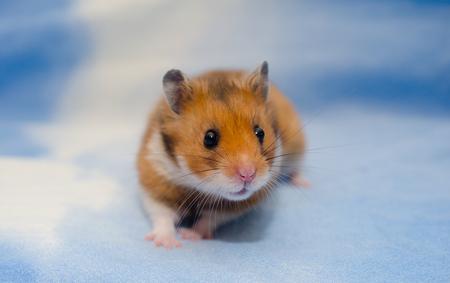 Cute tiny Syrian hamster on a bright blue background Standard-Bild