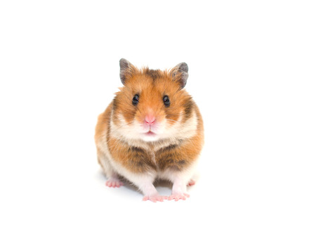 Cute Syrian hamster isolated on white (selective focus on the hamster eyes)