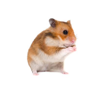 Cute Syrian hamster sitting on its hind legs in a funny pose (isolated on white) Stock Photo - 85414373