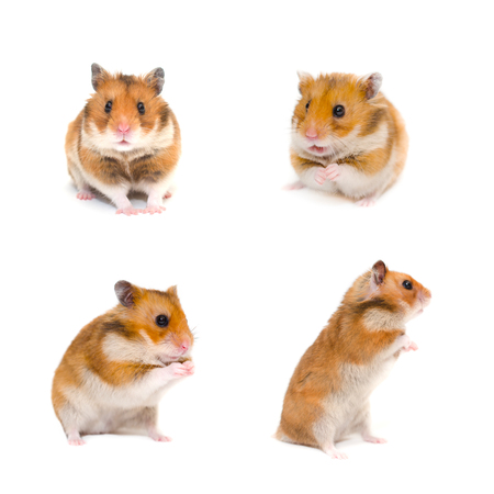 Set of cute funny Syrian hamsters in different poses (isolated on white) Zdjęcie Seryjne