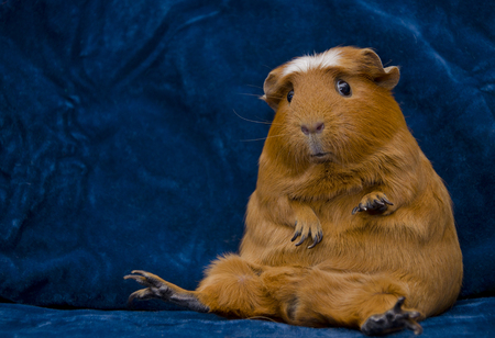 Funny guinea pig sitting in a funny pose on the dark blue background (with copy space on the left) 版權商用圖片