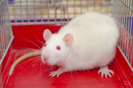 White laboratory rat sitting in a cage Stock Photo
