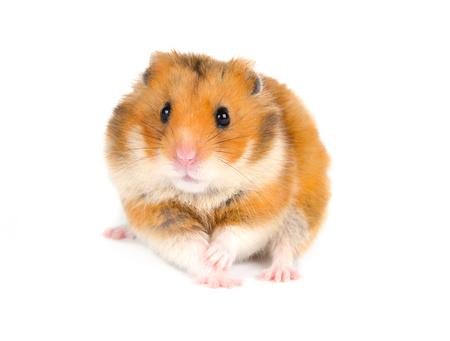 Bang Syrische hamster met een grappige uitdrukking (geïsoleerd op wit) Stockfoto - 86321281