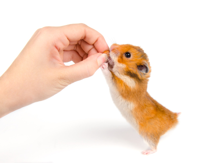 Cute Syrian hamster taking a nut from a human hand (on a white background)