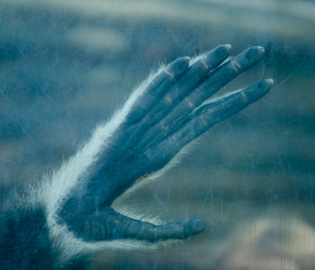 Gloomy silhouette of a monkey or ape paw on a scratched glass (in blue tones) Stock Photo