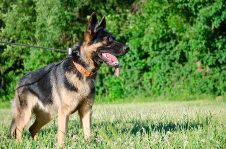 German shepherd walking outdoors (against the bright green background) Stock Photo