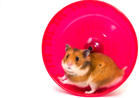 Cute Syrian hamster looking out of a bright pink hamster wheel (isolated on white, with copy space on the left for your text)