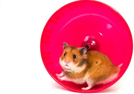 Netter syrischer Hamster, der aus einem hellen rosa Hamsterrad heraus schaut (getrennt auf Weiß, mit Exemplarplatz auf der linken Seite für Ihren Text) Standard-Bild
