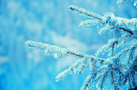 Blue twigs of a pine tree covered with ice (as a Christmas or New Year background), with copy space on the left