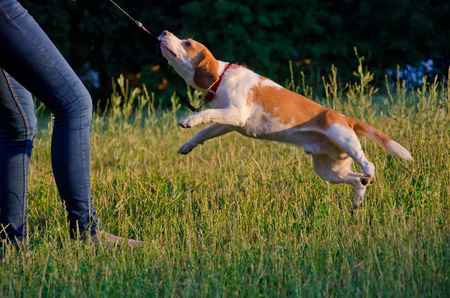 Joyful beagle puppy as if flying in the air while pulling its leash with its teeth Stock Photo