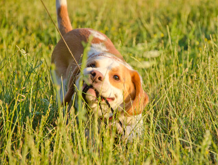 Stubborn beagle puppy misbehaving and pulling its leash with its teeth Stock Photo