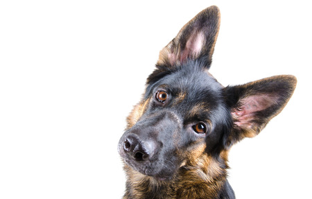 Cute German shepherd tilting its head (isolated on white, selective focus on the dog eyes), with copyspace on the left