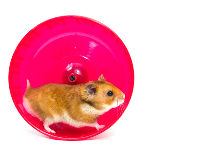 Netter syrischer Hamster, der in ein helles rosa Hamsterrad (lokalisiert auf Weiß, mit Kopienraum auf dem Recht läuft Standard-Bild