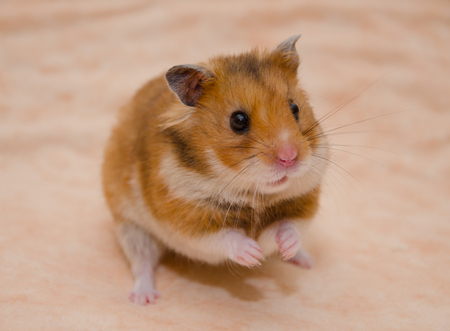 Funny Syrian hamster sitting on its hind legs (on a light beige background), selective focus on the hamster eyes