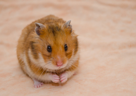 Funny Syrian hamster with food in its cheek pouches (on a light beige background), selective focus on the hamster eyes