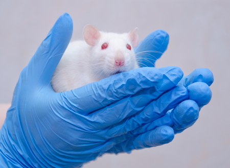 Scared white laboratory rat in the hands of a researcher in a lab (against a gray background) Stockfoto