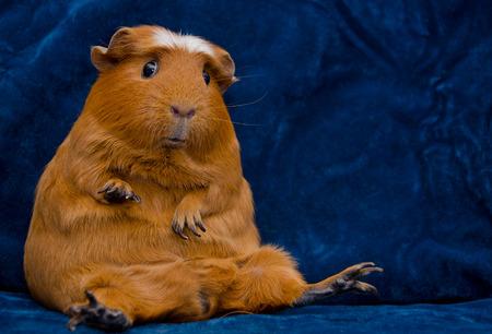 Cochon d'Inde drôle assis dans une pose amusante sur le fond bleu foncé (avec espace copie à droite) Banque d'images