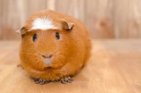 Cute guinea pig on a wooden background (with copy space on the right), selective focus on the guinea pig nose Stock Photo