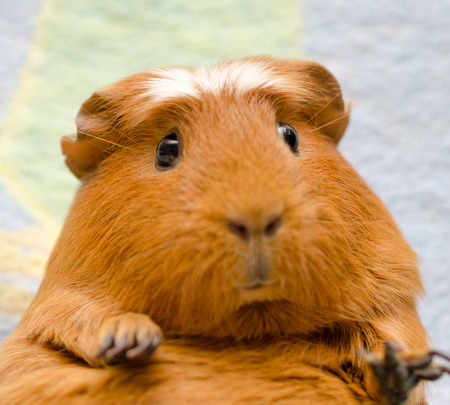 cavie: Portrait of a cute funny guinea pig (selective focus on the guinea pig eyes)