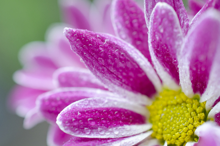 Macro shot of petals of beautiful chrysanthemum flowers covered with morning dew (very shallow DOF, selective focus on the drops of dew)