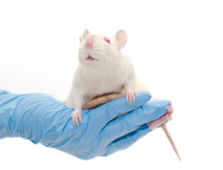 Cute white laboratory rat in the hands of a researcher (isolated on white), selective focus on the rat eyes