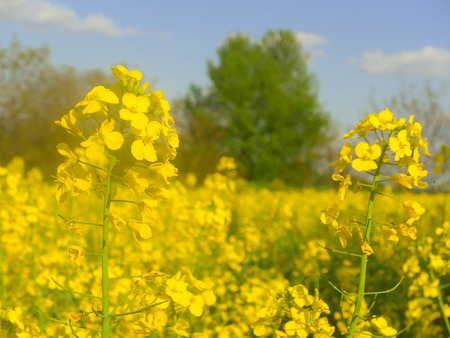 Bright yellow rape flowers in a rape field