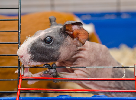 cavie: Curious cute skinny guinea pig baby with big ears looking out of a cage