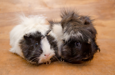 Two cute black and white Abyssinian guinea pigs against a wooden background