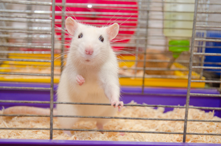 Funny white laboratory rat standing and looking out of a cage (shallow DOF, selective focus on the rat eyes and ears) Stock Photo
