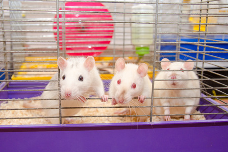 Three curious laboratory rats looking out of a cage in a laboratory (selective focus on one of the rats) Stock Photo