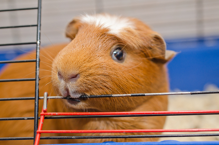 Funny guinea pig chewing on the bars of its cage (selective focus on the guinea pig nose and mouth) 免版税图像