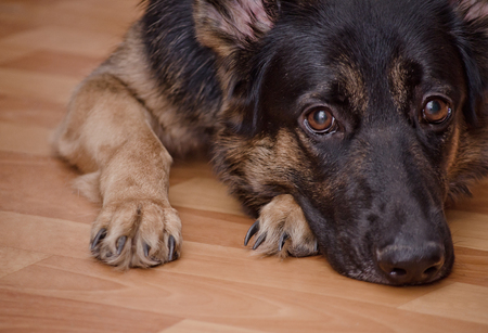 Sad dog lying on the floor and waiting (selective focus on the dog eyes) as the Missing You concept Foto de archivo