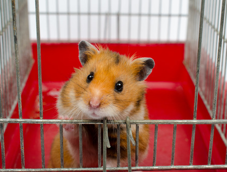 Cute funny Syrian hamster looking out of the cage (selective focus on the hamster eyes)