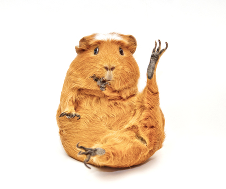Karate guinea pig (guinea pig sitting in a funny pose as if doing karate) isolated on white Banco de Imagens