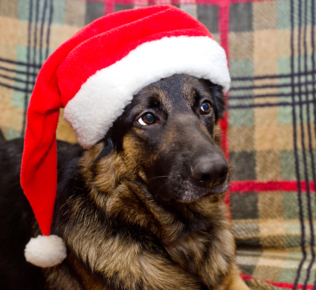 Dog wearing a Santa Claus hat against a Christmas background, selective focus on the dog eyes Banco de Imagens