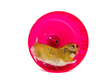 Cute Syrian hamster running in a bright pink hamster wheel (isolated on white), selective focus on the hamster head Standard-Bild
