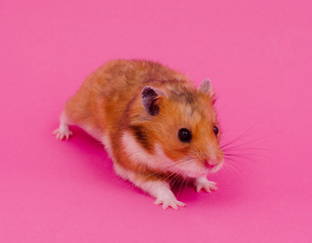 Cute little Syrian hamster on a pastel pink background (selective focus on the hamster eyes and nose)