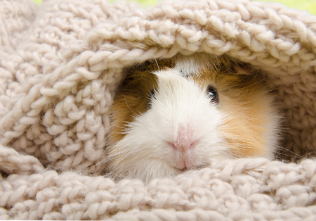 Funny cute guinea pig hiding in a knitted woolen scarf (selective focus on the guinea pig nose)