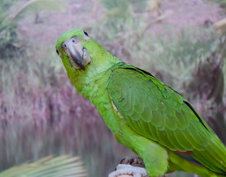 Cute funny bright green Amazon parrot looking straight into the camera (selective focus on the parrot eyes and feathers) Stock Photo