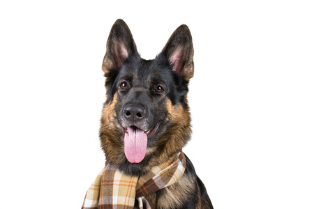 Funny cute German shepherd wearing a scarf (isolated on white)