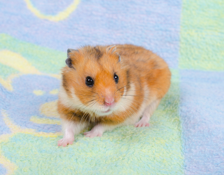 Cute golden hamster on a bright multicolored background