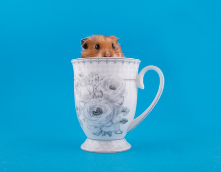 Cute funny Syrian hamster peeping out of a tea cup (on a bright blue background)