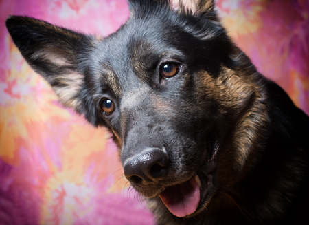 Portrait of a cute German shepherd tilting its head and listening with attention (against a bright pink background, with selective focus on the shepherd eyes)