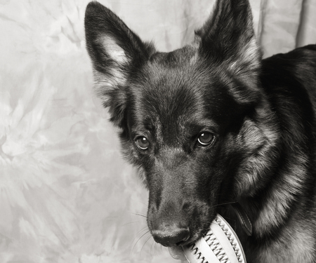 Cute German shepherd holding a toy in its mouth (in black and white, retro style), copy space on the left for your text