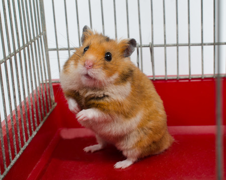Cute funny Syrian hamster sitting in a cage