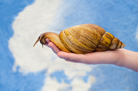Giant African snail on a human hand (against a bright blue and white background), copy space on the left for your text