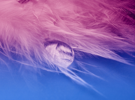 Drop of water flowing on a feather against a pink and blue background (as an abstract fairy-like background), shallow DOF, selective focus on the drop of water and feather details