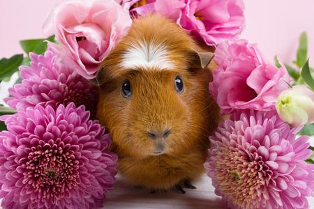 Lindo conejillo de indias divertido entre hermosas flores de color rosa (sobre un fondo rosa)