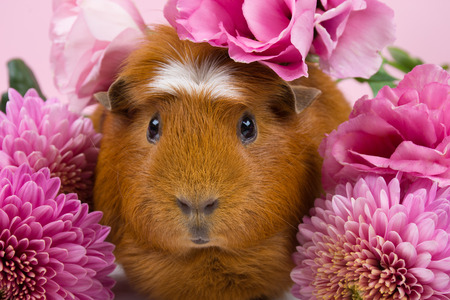 Cute funny guinea pig among beautiful pink flowers (against a pink background)