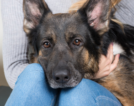 Cute thoughtful German shepherd with its head on the lap of its owner
